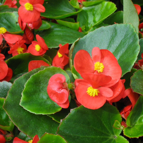 Flowering HP Begonia