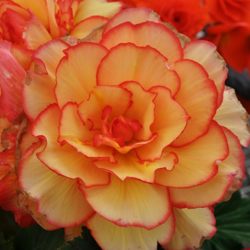Flowering Pot Begonia