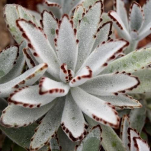 succulent kalanchoe