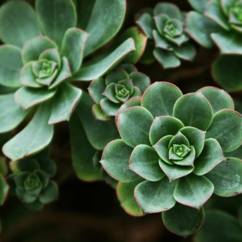 Succulents (aeonium)
