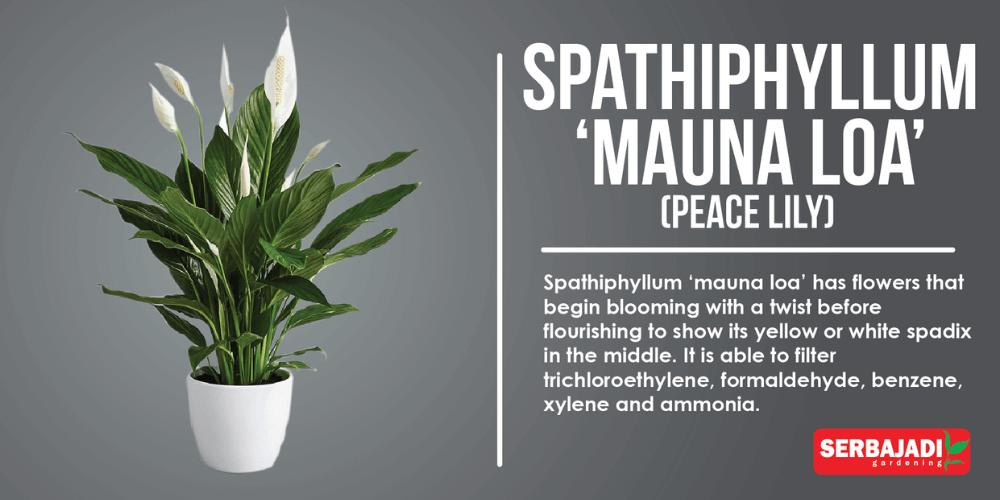 Spathiphyllum 'Mauna Loa'